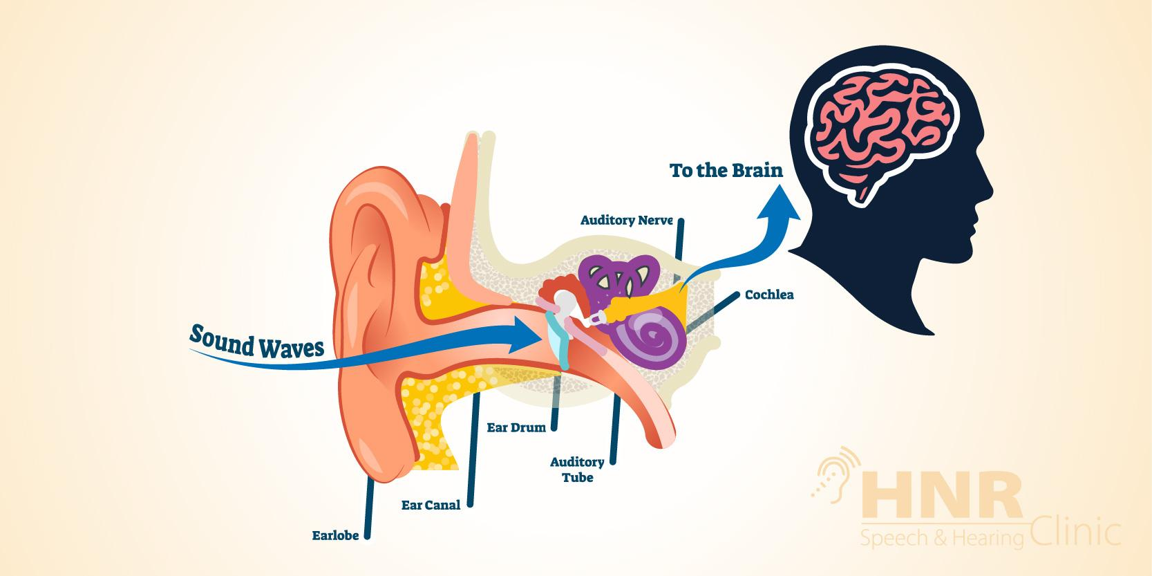 How does Hearing Work in Your Brain